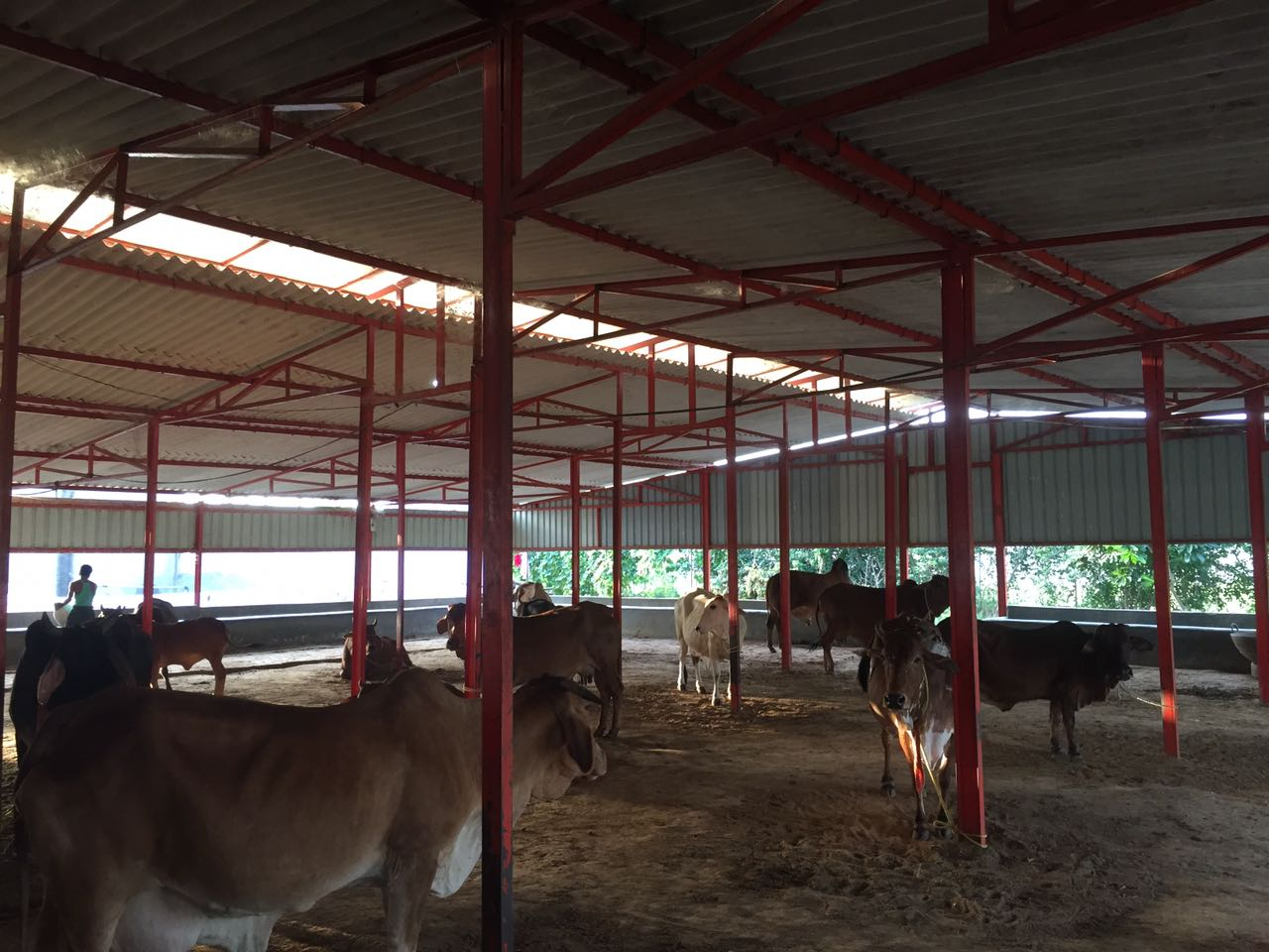 desi cow farming